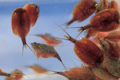 Photo: The endangered vernal pool tadpole shrimp at Kesterson NWR in California.