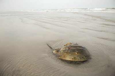 Picture of a horseshoe crab (Limulus polyphemus), along the beach near Stone Harbor, NJ.