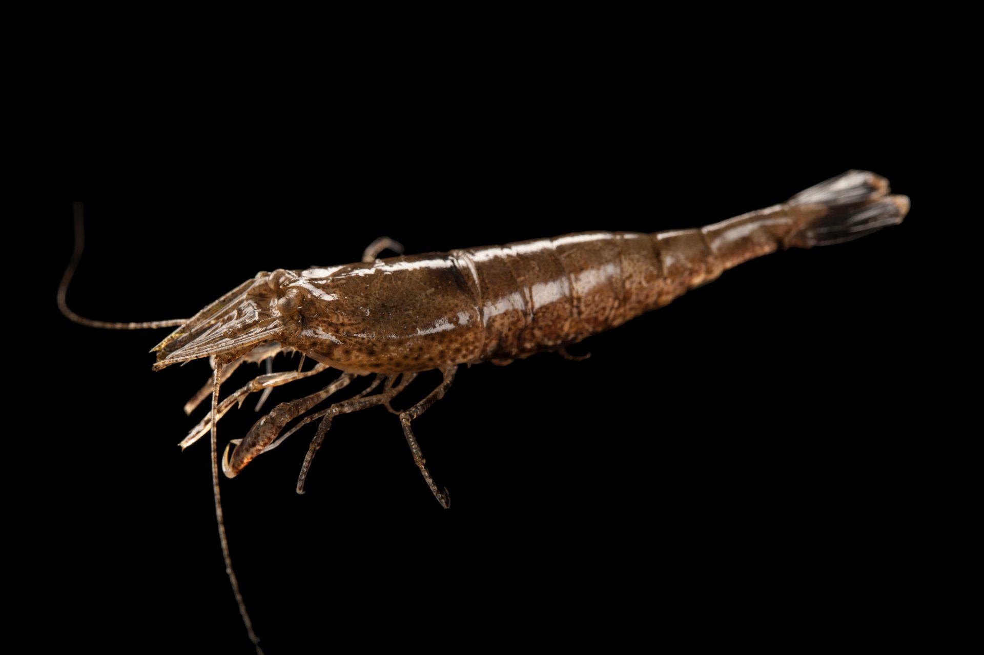 Sand shrimp, Crangon septemspinosa, at the Sedge Island Natural Resource Education Center in the Sedge Islands Marine Conservation Zone, Barnegat Bay, New Jersey.