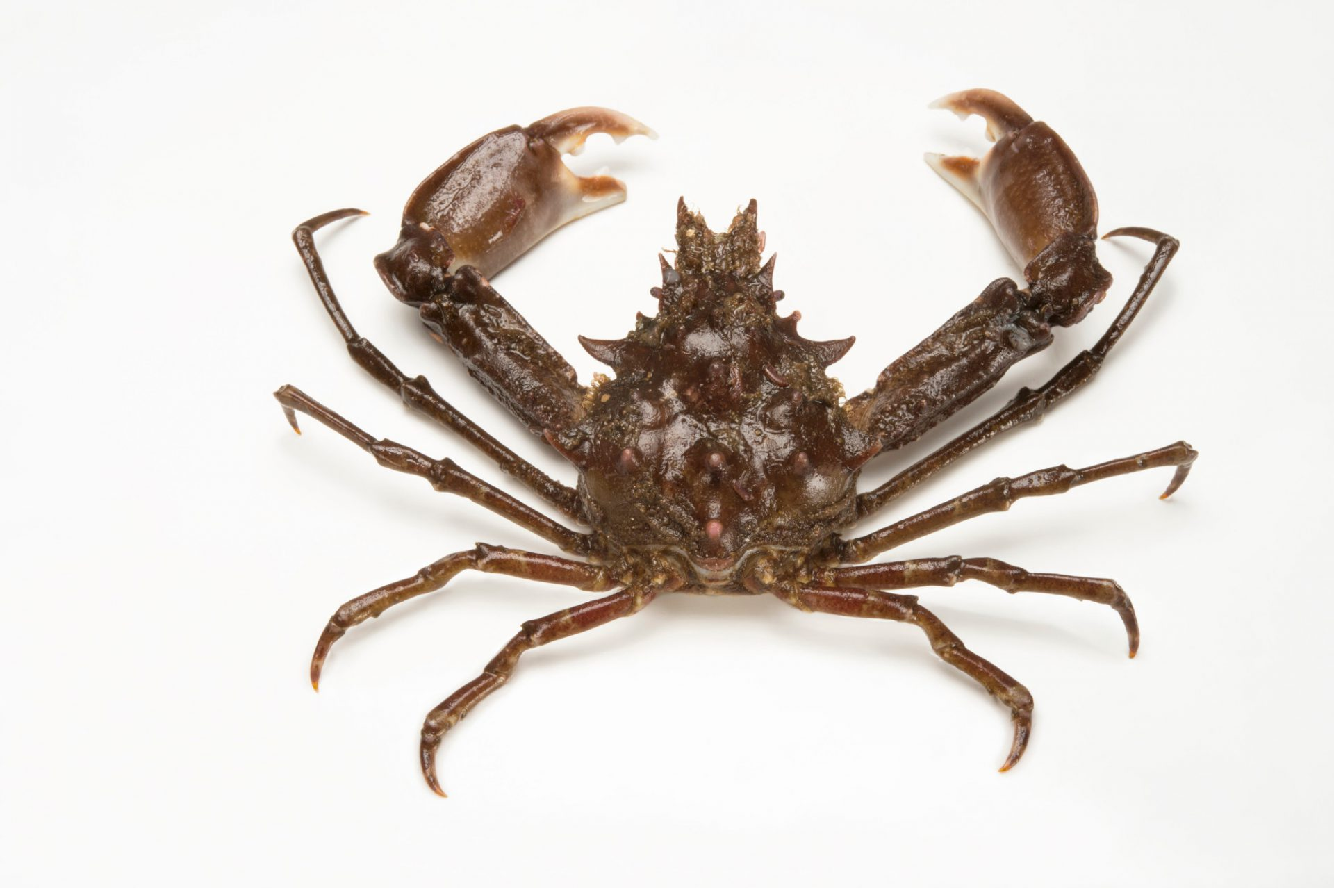 Picture of a Sharp-nosed crab or long-armed crab (Scyra acutifrons) at the National Mississippi River Museum and Aquarium in Dubuque, Iowa.