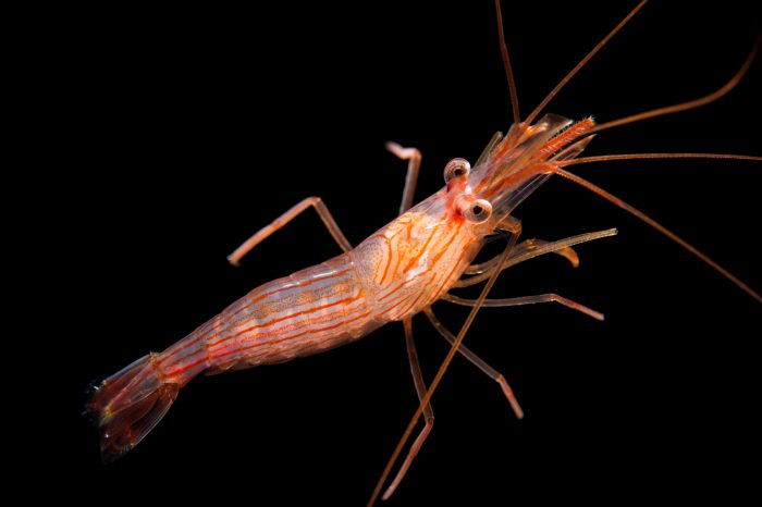 Picture of a peppermint shrimp (Lysmata wurdemanni) at Pure Aquariums from the Gulf Specimen Marine Lab.