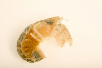 Photo: Female mud shrimp with eggs (Upogebia affinis) at Gulf Specimen Marine Lab and Aquarium.