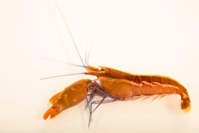 Photo: Blue legged pistol shrimp (Alpheus immaculatus) at Gulf Specimen Marine Lab and Aquarium.