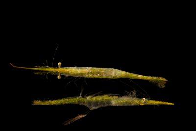 Photo: Arrow or Needle shrimp (Tozeuma carolinense) with broken back shrimp (Periclimenes longicaudatus) at Gulf Specimen Marine Lab and Aquarium.