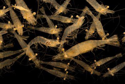 Picture of a grass shrimp (Palaemonetes pugio) at Gulf Specimen Marine Lab and Aquarium.