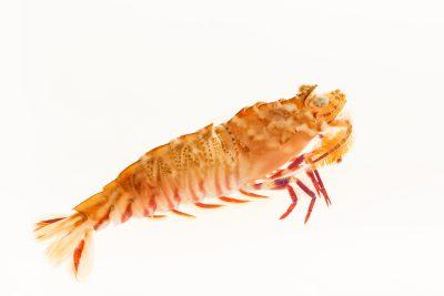 Photo: Brown rock shrimp (Sicyonia brevirostris) at Gulf Specimen Marine Lab.