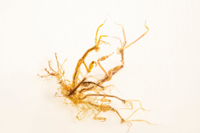 Photo: A colony of skeleton shrimp (Caprella sp.) at the Maine State Aquarium in West Boothbay, ME.