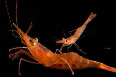 Photo: Two northern shrimp (Pandalus borealis) at the Maine State Aquarium in West Boothbay, ME.