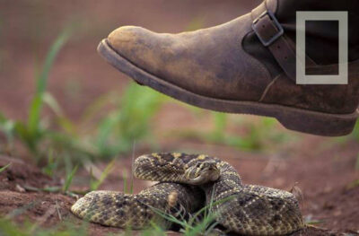 Photo: A rattlesnake coils in response to a descending foot.