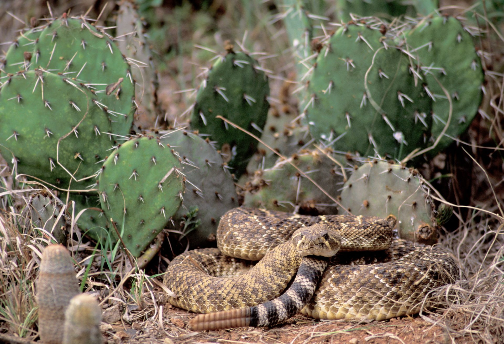 Photo: A rattlesnake sits coiled next to a prickly pear cactus.