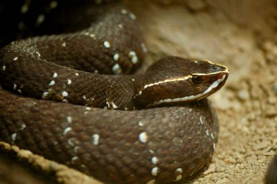 Photo: A Mexican cantil viper at the Henry Doorly Zoo.