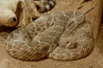 Photo: A diamond backed rattlesnake at the Henry Doorly Zoo.