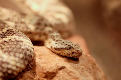 Photo: A tiger rattlesnake at the Henry Doorly Zoo.