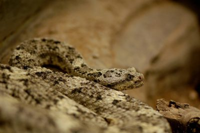 Photo: A speckled rattlesnake at the Henry Doorly Zoo.