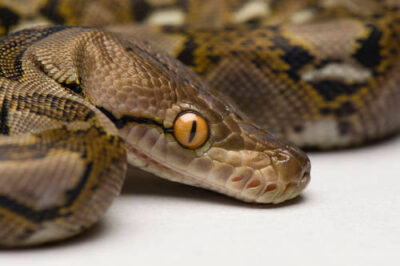 Photo: A juvenile reticulated python (Python reticulatus) at the Sedgwick County Zoo.