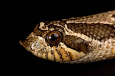 A western hognosed snake (Heterodon nasicus) at the Sunset Zoo in Manhattan, KS.