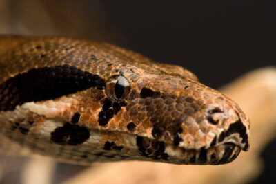 A boa constrictor at the Sunset Zoo.