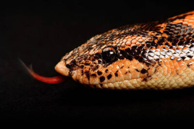 A Kenyan Sand Boa (Eryx colubrinus loveridgei) at Sedgwick County Zoo.