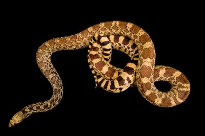 Photo: A bull snake, Pituophis catenifer sayi, at the Sedgwick County Zoo.