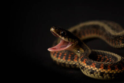 Picture of a red-sided garter snake (Thamnophis sirtalis parietalis) found on a farm near Princeton, Nebraska.