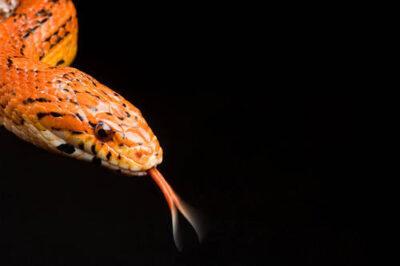 A corn snake (Elaphe guttata guttata) at the Kansas City Zoo.