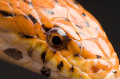 A corn snake (Elaphe guttata guttata) at the Kansas City Zoo.