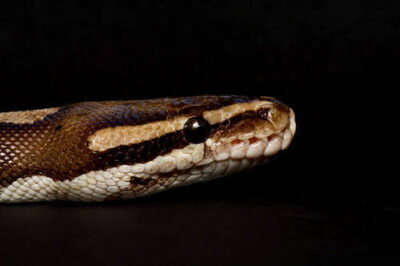 A ball python (Python regius), also known as a royal python, at the Kansas City Zoo.