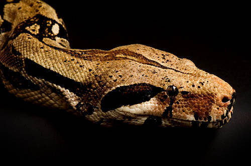 Picture of a red-tailed boa constrictor (Boa constrictor) at the Kansas City Zoo.