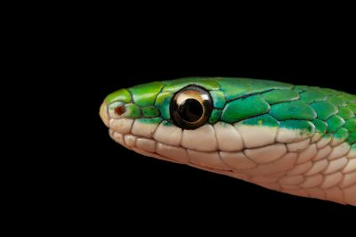 Photo: A rough green snake (Opheodrys aestivus) at the Denver zoo.