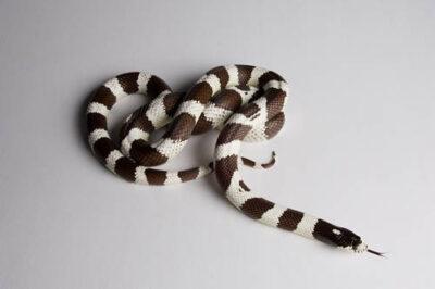 A California king snake (Lampropeltis getulus californiae) at the Cheyenne Mountain Zoo.