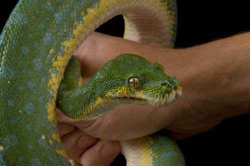 A green tree python (Morelia viridis) at the Riverside Zoo.