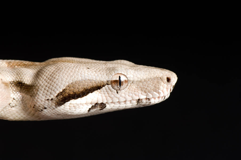 Picture of a red-tailed boa (Boa constrictor) at Safari Land Pet Center.