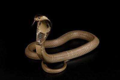 Photo: A monacled cobra (Naga kauthia) (venomous) at Reptile Gardens near Rapid City, South Dakota.