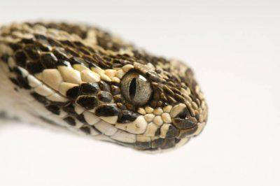 Photo: A lowland swamp viper (Atheris superciliaris) at Reptile Gardens.