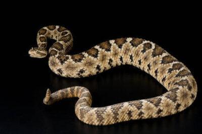 Photo: A lower California rattlesnake (Crotalus enyo enyo) at Reptile Gardens.