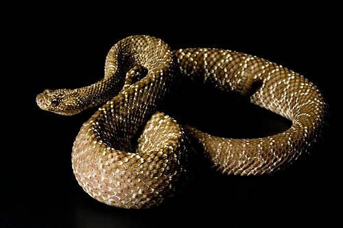 Photo: An Uracoan rattlesnake (Crotalus vegrandis) at Reptile Gardens.