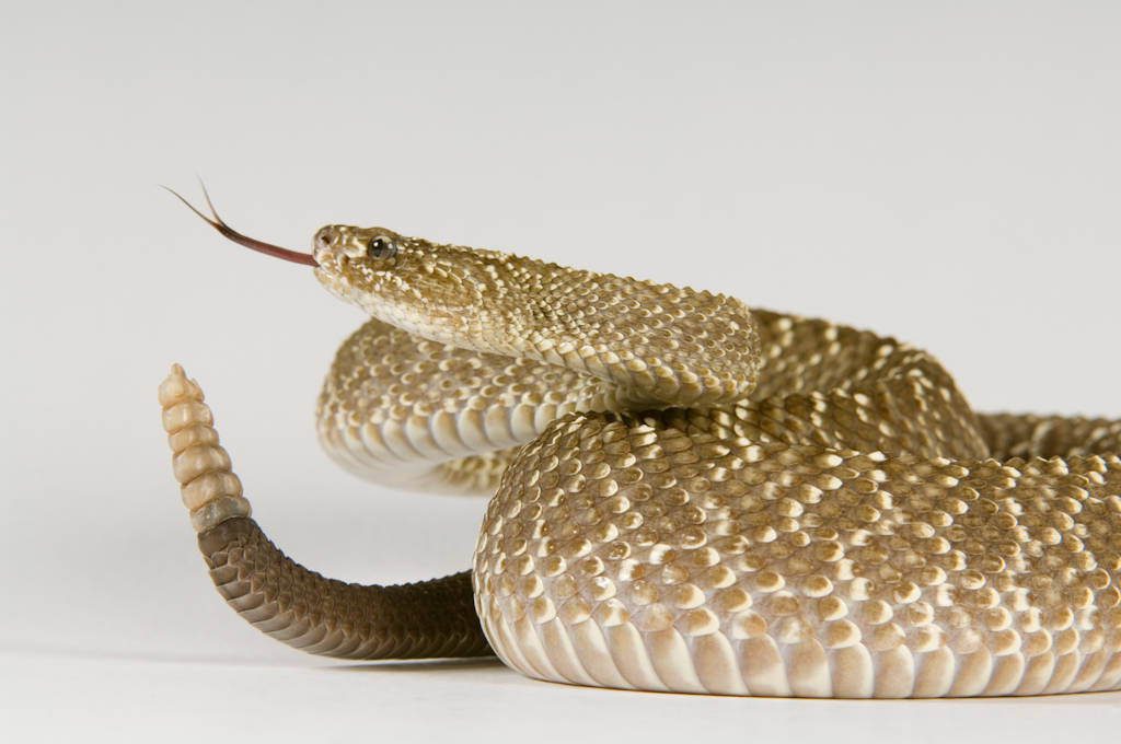 Photo: An Uracoan rattlesnake (Crotalus vegrandis) at Reptile Gardens.