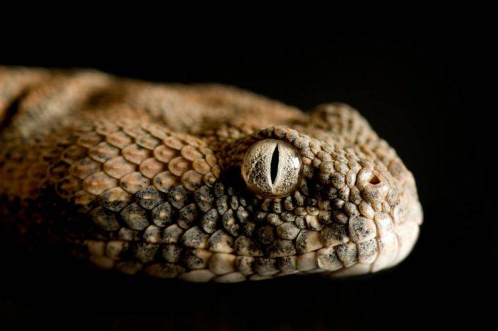 Photo: A Pakistan saw scale viper (Echis carinatus carinatus) at Reptile Gardens.