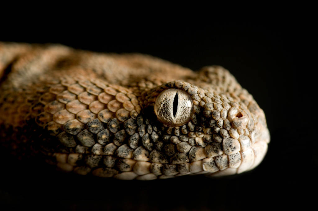 Photo: A Pakistan saw scale viper (Echis carinatus carinatus) at Reptile Gardens.