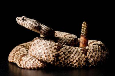 Photo: A banded rock rattlesnake (Crotalus klauberi) at Reptile Gardens.