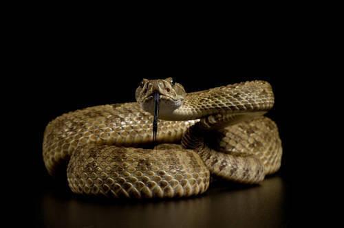 Photo: A Hopi rattlesnake (Crotalus viridis nuntius) at Reptile Gardens.