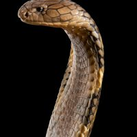 A king cobra (Ophiophagus hannah) at Reptile Gardens.