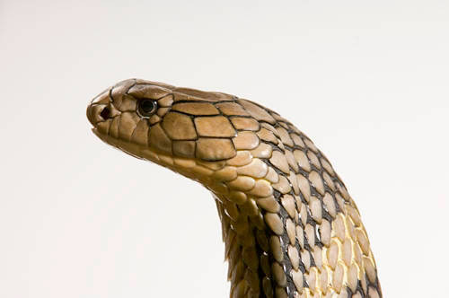 A king cobra (Ophiophagus hannah) at Reptile Gardens.