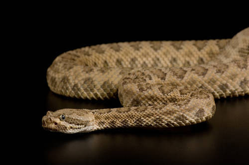 Photo: A Grand Canyon rattlesnake (Crotalus viridis abyssus) at Reptile Gardens.