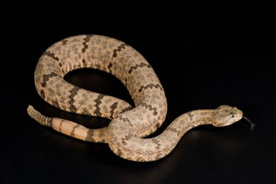 Photo: A mottled rock rattlesnake (Crotalus lepidus lepidus) at Reptile Gardens.