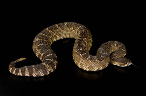 Photo: A southern Pacific rattlesnake (Crotalus viridis helleri) at Reptile Gardens.