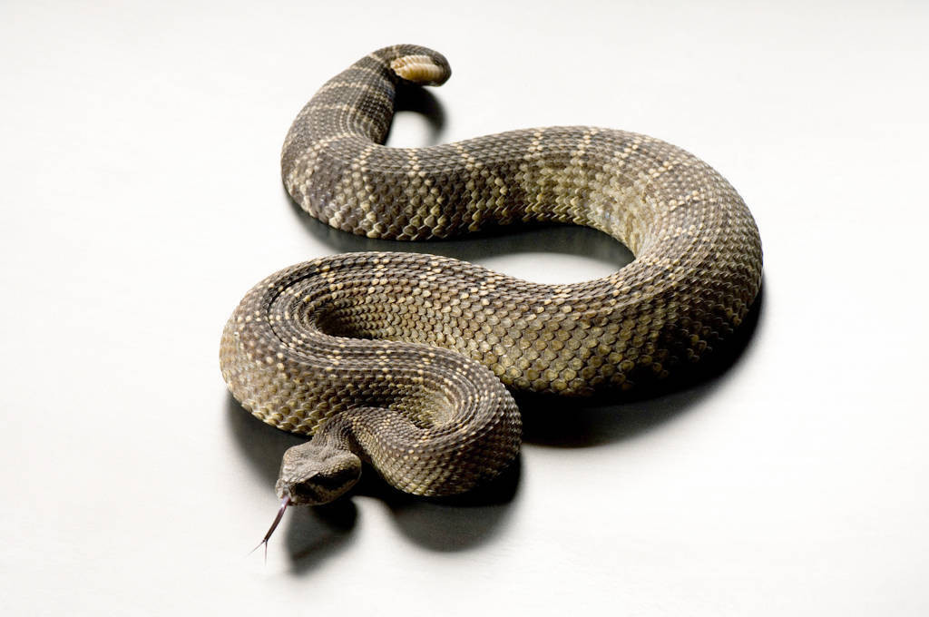 Photo: A southern Pacific rattlesnake (Crotalus viridis helleri) at Reptile Gardens.