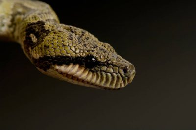 Photo: A Madagascar tree boa (Sanzinia madagascarensis) at Reptile Gardens.