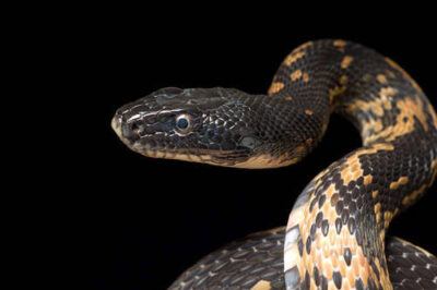 Photo: A royal diadem rat snake (Elaphe diadema) at Reptile Gardens.