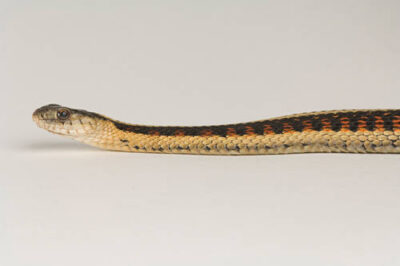 Picture of a red-sided garter snake (Thamnophis sirtalis parietalis) at Reptile Gardens.